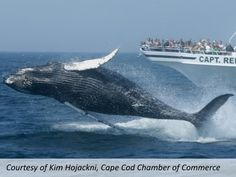 Take a whale-watching cruise and increase your awareness about whales, other marine life and their natural habitat – the ocean! Take incredible photos, learn some interesting facts about whales and spot some of the gentle giants that swim off the Cape's coast. Just one of the many things to do while on vacation in Cape Cod.