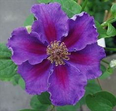 Perennial Results: Plant View - Clematis 'Ashva'