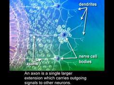 Prenatal brain development