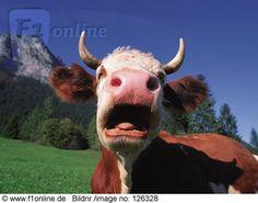 gähnen,Kuh - Lizenzfreies Bild - Bildagentur F1online 126328