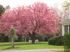 We have several Kwanzan Cherry trees in our yard - our favorite spring flowering tree.