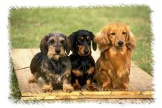 Miniature dachshunds  Wire haired, short and long haired..