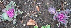 Ornamental cabbages, Dec 14. http://www.mandycanudigit.co.uk/#!useful-links-seeds-plants/cemr