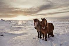 Gigja Einars Icelandic Horses