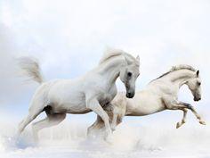 Les fonds d'écran - Deux chevaux blancs qui font un bond