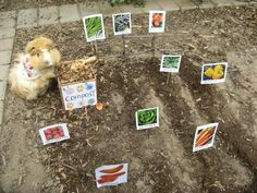 Just growing my veggie garden (Biscuit, perhaps the world's most adorable guinea pig! Baby Animals, Funny Animals, Cute Animals, Pig Habitat, Pet Guinea Pigs, Rodents, Fur Babies, Pets, Planting