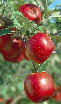 Gyönyörű piros almák...
