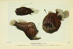 Deep-Sea Anglers