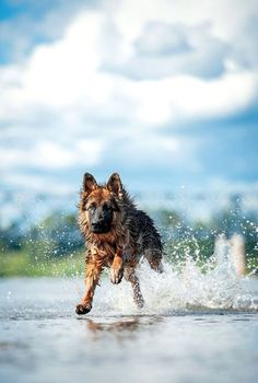 Dog enjoying a summer day in the water. Find German Shepherd names that are perfect for this beautiful breed... http://www.dog-names-and-more.com/German-Shepherd-Names.html #GermanShepherd