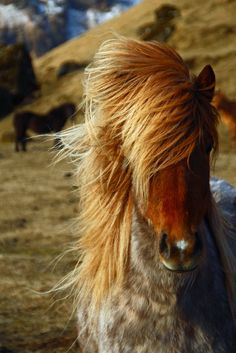 Icelandic Horse with gorgeous golden full bushy mane and fuzzy hair. So cute! Mountains and other horses in the background.