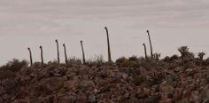 Pachypodium namaquanum The Richtersveld Halfmens – South African Tourism