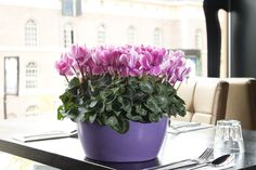 pink pleasure with this cyclamen Allure