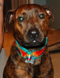 4 / 13    Petango.com – Meet Ziggy, a 5 years 10 months Terrier, Pit Bull / Retriever, Labrador available for adoption in DALLAS, NC