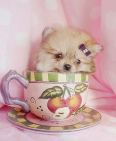 teacup pomeranians | Teacup Pomeranian Puppy and Pomeranian Puppies at TeaCups Puppies of ...