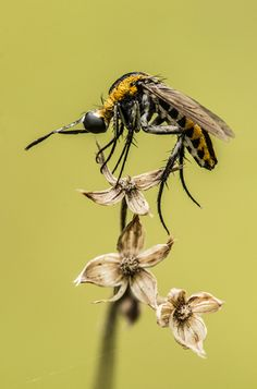 Hunchback fly alias si Bongkok