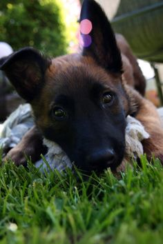 belgian malinois. Just learned that this is a great dog to have.
