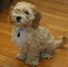 BICHON FRISE. Top 5 Most Affectionate Dog Breeds