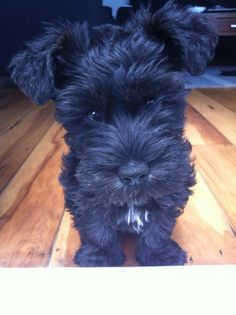 Schnoodle - How Cute am I!