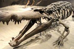 Giant crocodiles used to hunt dinosaurs!