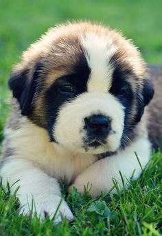 St.Bernard -- Look to see if your favorite pup with be featured as a new spirit hood. Only at www.spirithoods.com!