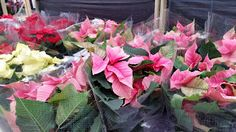 The Muminator: I only went to Longacres for a Poinsettia...
