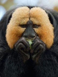 """""""A white-faced saki (Pithecia pithecia) eats in its enclosure at the zoo in Nuremberg, southern Germany"""""""