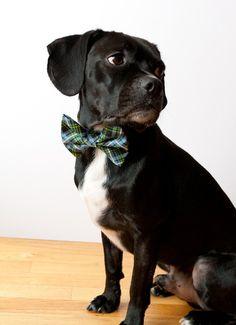 Navy Blue Tartan Dog Bow Tie Collar by SillyBuddy on Etsy, $42.00  My dog needs it!