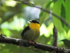 Male manakins, Panamanian birds, have acrobatic courtship dances. Scientists wanted to know if the activity was testosterone-related.