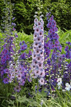 Delphinium Grow these blue and purple blooms in your yard and you'll see them soar to new heights every year. Once they've bloomed, cut them and bring inside to display in a vase, and you'll see new petals in no time.  Zones 3-9; full sun; blooms early- to mid-summer