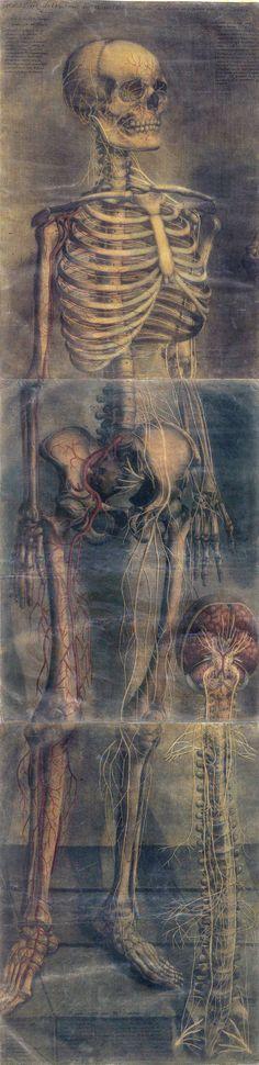 skeleton. Jacques Fabian Gautier d'Agoty: Anatomie generale des viscères en situation, de grandeur et couleur naturelle, avec l'angeologie, et la nevrologie de chaque partie du corps humain