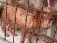 SAVE DOGS FROM A CRUEL DEATH~ As you read this, there are dogs in Asia being tortured then slaughtered for their meat. Soi Dog urgently needs money to rescue them, repair their broken bodies, and help find them loving homes. Please donate a few dollars a month to help them.