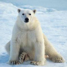 Polar Bear Diet, Polar Bear Hunting, Save The Polar Bears, Cute Polar Bear, Wild Animals Photos, Bear Photos, Custom Puppets, Vulnerable Species, Polar Bears