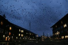 Thousands of crows fly between Commons Hall (right) and Founders Hall (left) on the University of Washington Bothell campus at dusk.