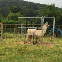 the chute gives good access from all sides Alpacas, Animals, Fall Of Man, Animaux, Animal, Animales, Animais