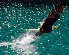 Lake Minnewanka Loop Boat Tour Estimated Departure Point, Alberta, Canada - Another shot of the eagle catching the fish this is the only other shot that was in focus out of 70 exposures