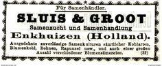 Original-Werbung/ Anzeige 1911 - SAMEN SLUIS & GROOT - ENKHUIZEN (HOLLAND) - Ca. 75 X 30 Mm - Werbung