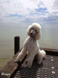 Ringo: How's this for a pose?  (Perfect. Poodles are such posers. :)  )