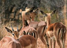 A small heard of Impala at the Kruger National Park. It was an overcast day so the lighting was very soft. I like this shot because each Impala is looking in a different direction.