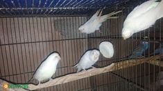 Red eye Crust Budgie Females available. Feel free to buy Red eye Crust Budgie Females available online from trusted sellers in Pakistan on pet classifieds. Birds For Sale, Buy Birds, Kinds Of Birds, Budgies, Red Eyes, Pictures Of You, Female, Pets, Animals
