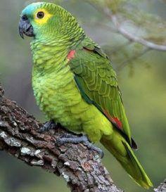 papagaio verdadeiro_amazona aestiva Brazilian Birds