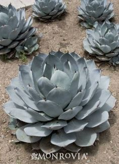 Artichoke Agave Agave parryi var. truncata  Dense, symmetrical rosettes of wide blue-gray leaves are abundant, developing large clumps. Bloom spikes emerge from older rosettes, which die after flowering - the plant is perpetuated by pups or offshoots. A bright accent in the water-wise landscape or a nice groundcover when mass planted.