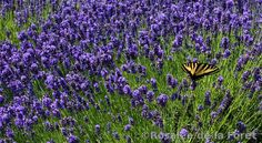 Plants In France: Lavender: Little known uses (and recipes!) from France
