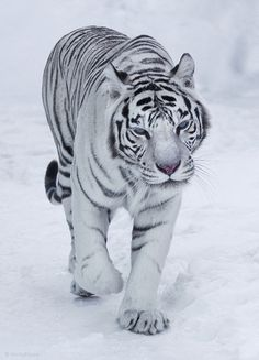 If only I play with these big cats without getting killed...they look so cuddly