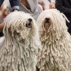 Wie heißt diese Hunderasse? Komondor Der Komondor ist eine von der FCI anerkannte ungarische Hunderasse.  Der Komondor hat einen robusten Körper und wird bis 80 Zentimeter groß und 60 Kilogramm schwer. Sein verfilztes, zottiges, durchweg dichtes langes Haar ist elfenbeinfarben. Der Betrachter kann weder die Augen noch die Ohren des Komondors sehen, wodurch die Beurteilung des Gemütszustandes des Hundes erschwert wird.