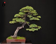 Wonderful Bonsai from www.facebook.com/bonsaifocus/