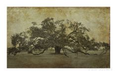 Sugarmill Oak, Louisiana Stretched Canvas Print- MBR