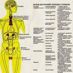 железы и гормоны человека