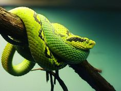 Pit Viper by ColdEdge on DeviantArt Les Reptiles, Reptiles And Amphibians, Serpent Snake, Colorful Snakes, Pit Viper, Snake Venom, Interesting Animals, Water Life, Crocodiles