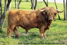 Rinder : Highland Cattle