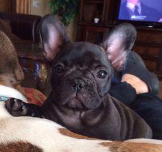Love my frenchie, French Bulldog Puppy ❤️